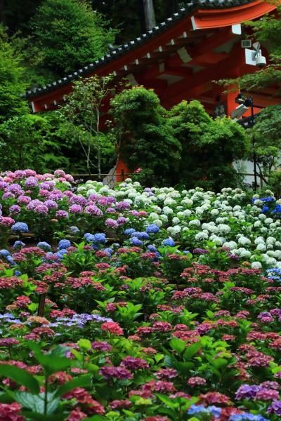京都 紫陽花めぐり~岩船寺、三室戸寺