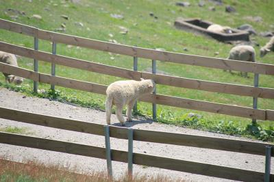 青々として草原で羊と遊び回る、和順・羊の群れ牧場!
