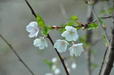 7月1日、岩農で桜の花を見た