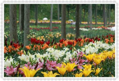 6月のモネの池って水連が咲いて最高らしいのですが  あじさいの三光寺&谷汲ゆり園♪