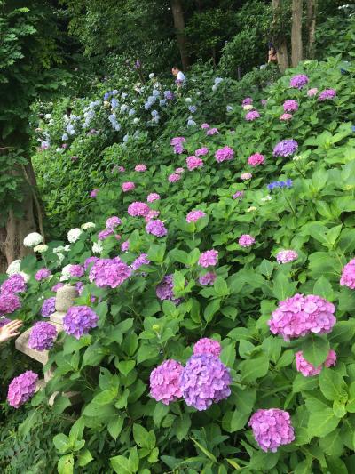 鎌倉に紫陽花を見に行ってみた。