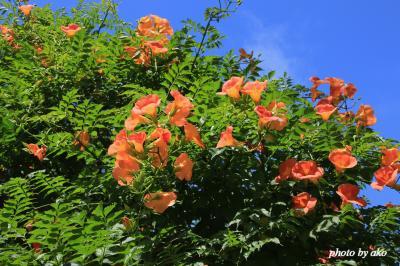 初夏の鎌倉花めぐり  ~大巧寺のアガパンサスと妙本寺のノウゼンカズラ~