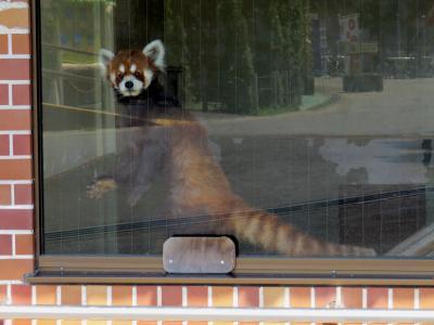 夏のレッサーパンダ紀行【2】 東武動物公園 猛暑・・・1年半ぶりの東武ZOOでココロちゃんに会いました