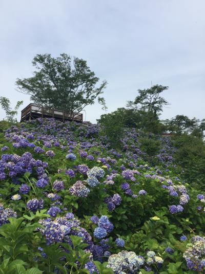 美の山公園 紫陽花 まだ見える
