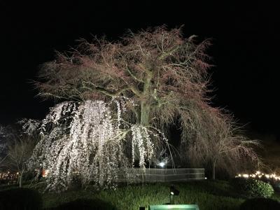 春爛漫 京都♪1(夜桜)