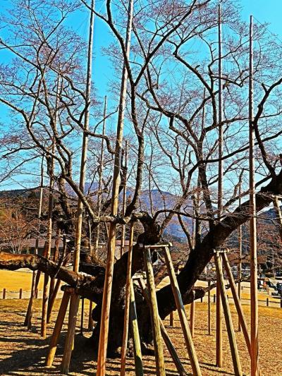 本巣-1 淡墨公園*根尾谷淡墨ザクラ 貫禄ある枝ぶり ☆満開まで後何日?