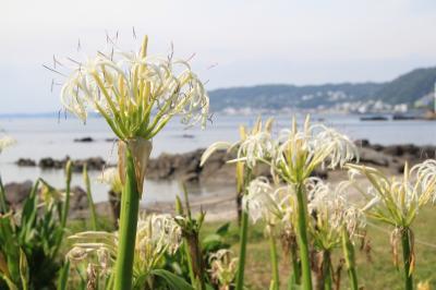 天神島でハマユウと浜辺の植物を見る。
