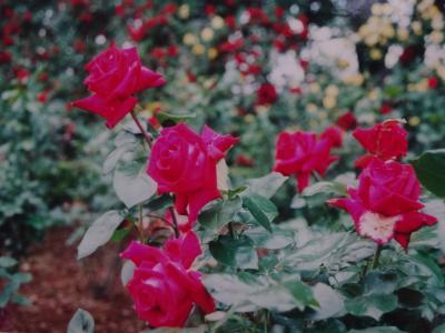 2001年(平成13年)5月 与野公園の綺麗なバラ園を母と見に行きます。
