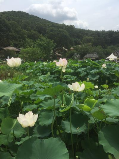 蓮の花咲く慶州といつもとはちょっと違う釜山のたび 1日目