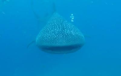 【セブ&ボホール】7日目 ジンベイザメに会いたい!オスロブへ長距離バスの旅