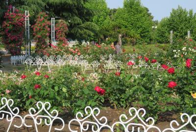 2017春、鶴舞公園のバラ(1/5):5月29日(1):ヒマラヤ杉、ヒストリー、ジュピレ・デュ・プリンス・ドゥ・モナコ、天津乙女