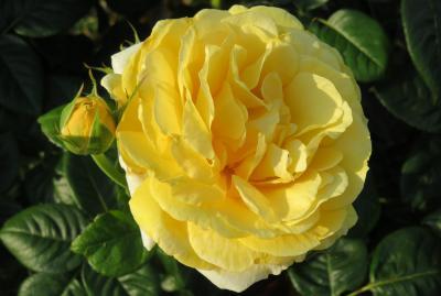 2017春、鶴舞公園のバラ(2/5):5月29日(2):ブラスバンド、天津乙女、レーザー、サマンサ、ベティナ、パスカリ