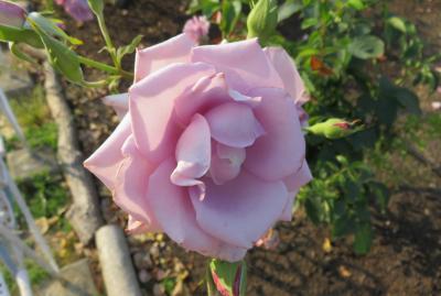 2017春、鶴舞公園のバラ(3/5):5月29日(3):マダム・ビオレ、ミケランジェロ、花房、フリュイテ、ブラスバンド
