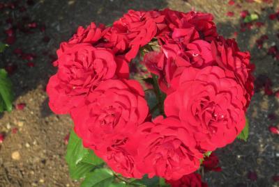 2017春、鶴舞公園のバラ(4/5):5月29日(4):レッド・クイーン、花房、ミカエル、ラバグルート、ゴールデン・フラッシュ