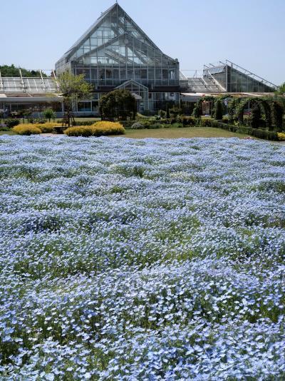 野田-1 花ファンタジア ネモフィラ 花盛り ☆清水公園の有料植物園で