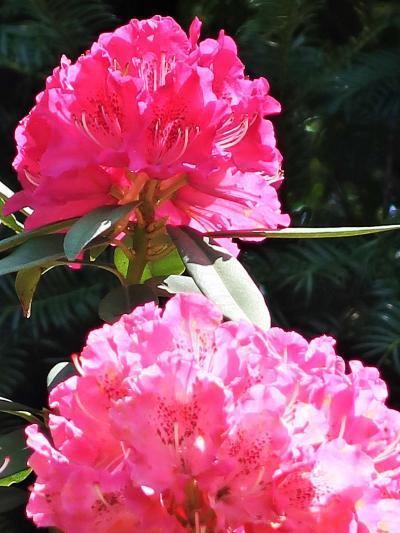 野田-2 花ファンタジア シャクナゲ・フジ・睡蓮 見ごろ ☆ギョリュウの花は珍しく