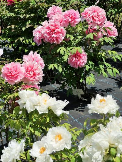 野田-3 花ファンタジア ボタン・牡丹 競演の色姿 ☆最盛期の華やぎ魅せて