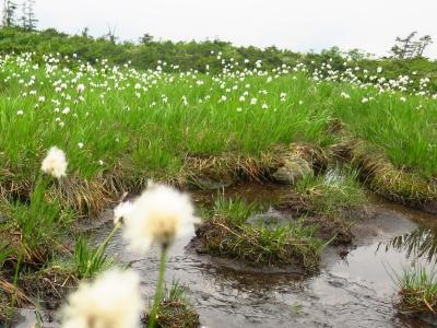 三度目の挑戦も微笑まず -相性最悪の山、西吾妻山- ~高山植物に癒されるも、霧・雨・獣で退却~