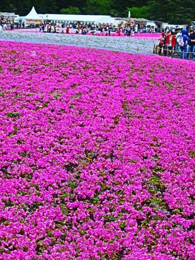本栖湖リゾート 富士芝桜まつり2017 1/2 花ざかり ☆富士山はお隠れ.人出は多く