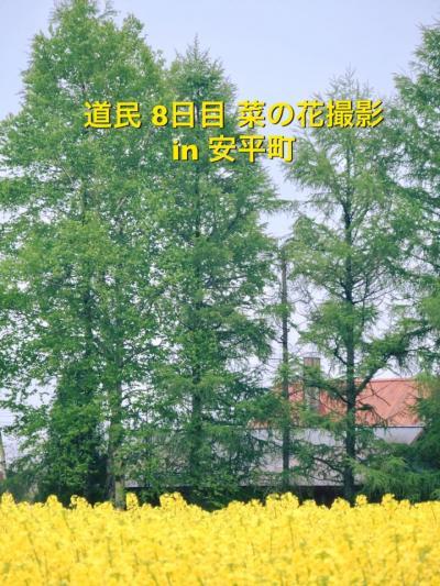 菜の花撮影で安平町までお出かけ♪ 安平ってどこ?  はい、千歳、苫小牧のとなり町です(11)