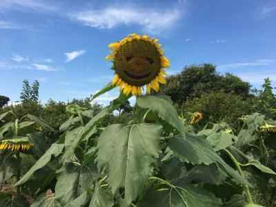 夏の終わりのひまわり畑!清瀬ひまわりフェスティバル