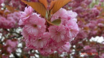 北の海峡の桜