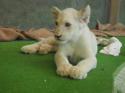 姫路セントラルパークでホワイトライオンの双子の赤ちゃんと記念写真(^O^)/