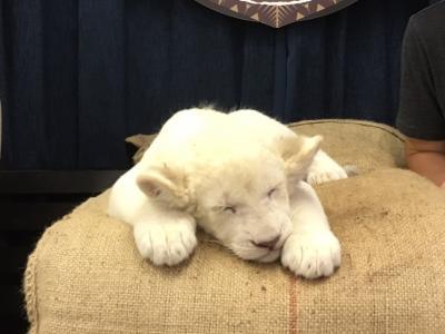 ホワイトライオンの赤ちゃんと記念撮影♪