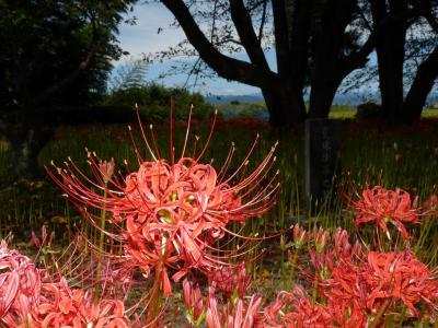 恩林寺のヒガンバナ_2017_全体的には4~5分咲きだが、場所による差が大きい。(群馬県・邑楽町)