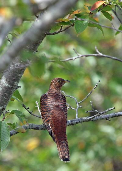 野鳥撮影記録(2017年9月)その5・神奈川