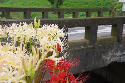 小出川の「紅白」の彼岸花 2017