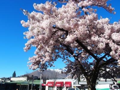クイーンズタウンに桜の季節がやってきてます。