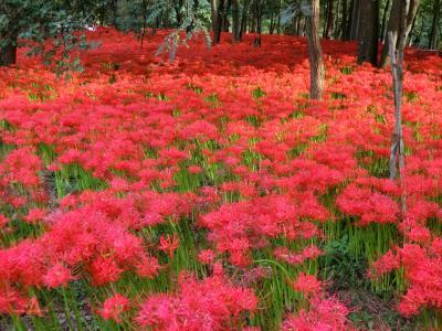 巾着田の彼岸花と日和田山ハイキング