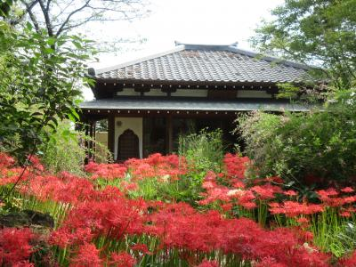 太田常楽寺の彼岸花