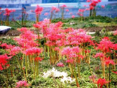 春はシバザクラ・秋はヒガンバナの私設花園にお訪れてみました