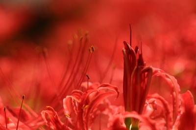 巾着田の真紅のヒガンバナじゅうたんに浸るも12回目(後編)真紅のじゅうたんの中の光の路と曼荼羅のような奇跡の造形の花を求めて