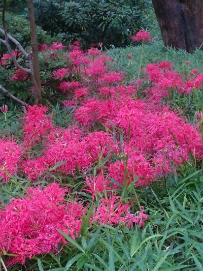 彼岸花が見頃の小石川後楽園を散歩   :*:・゜'★.。・:*:・゜'☆♪