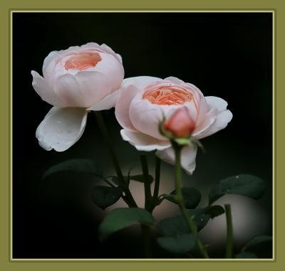 Solitary Journey [1918] 薔薇は豪華で見応えがある初夏を彩る花です。<山間の田舎道を走って行く♪湧永庭園バラ園>広島県安芸高田市