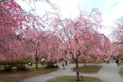 高見の郷、まさに今が見頃のしだれ桜。