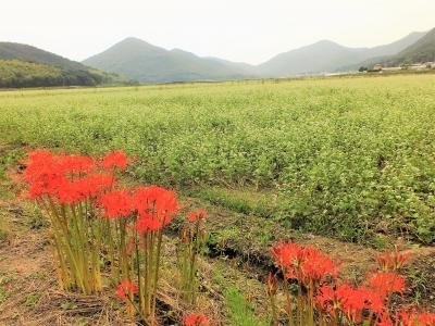 可憐な花が辺りを白く染めるそばの郷金剛山