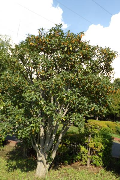 栄第二水再生センタ-に金木犀の大木