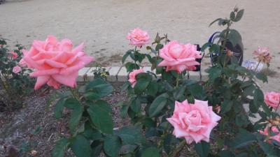 夕刻の散歩 荒牧バラ公園のバラは、10月中旬頃からか。