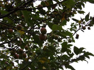 林檎(りんご)の木に実