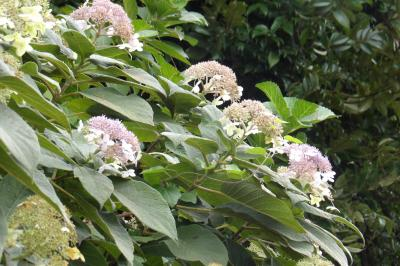 化粧坂下の紫陽花