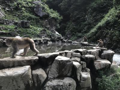 地獄谷野猿公苑ウォーキング。温泉に浸からないサルばかり
