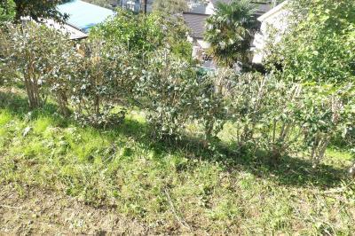 実方塚バス停側の金木犀の並木が生垣に