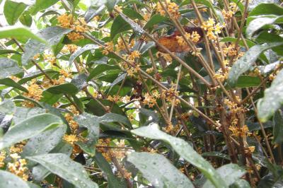 「2度咲き」する金木犀の並木-階段の手すり越しの金木犀の並木道が再び満開です
