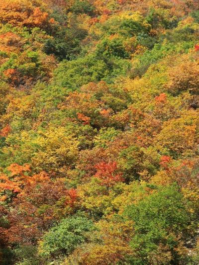 白山白川郷ホワイトロードの紅葉