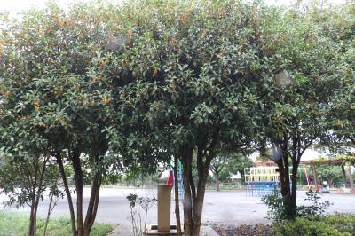 上倉田第五公園の金木犀の並木と生垣
