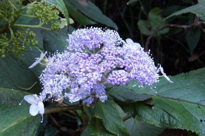 明月院通の紫陽花